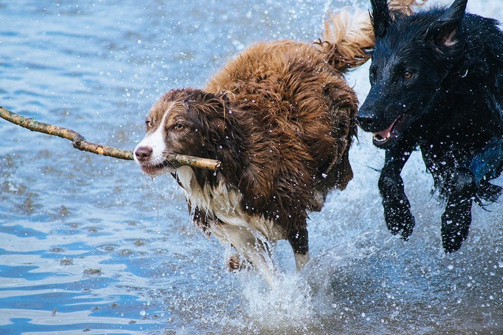 Dogs playing in river