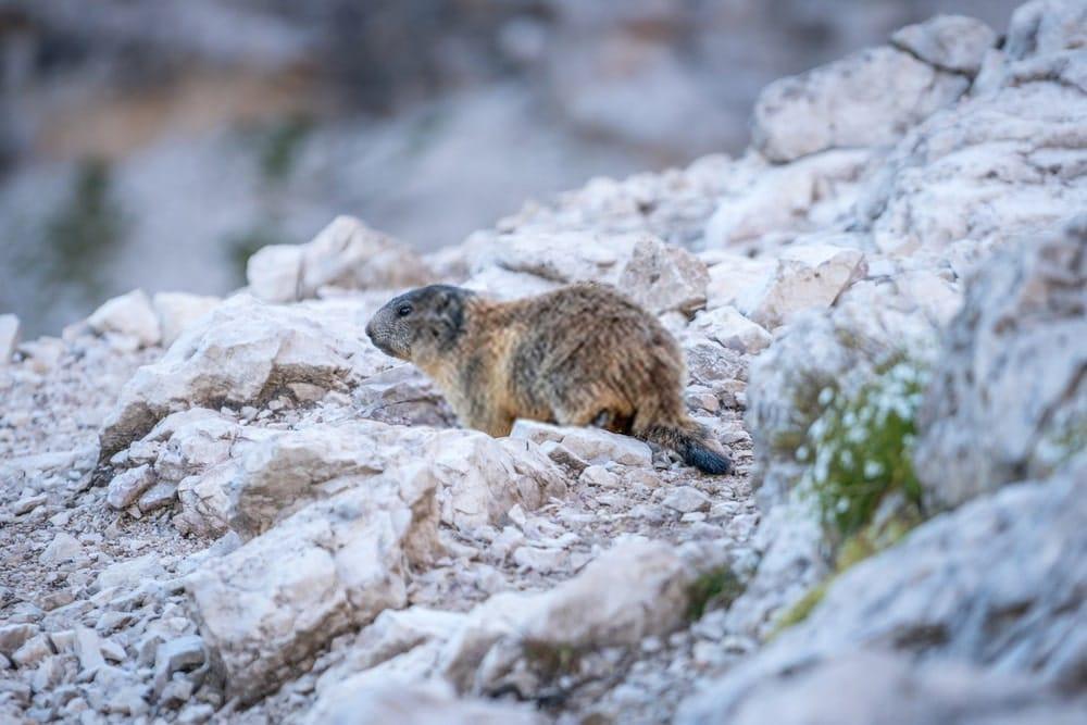 Marmot in mountain