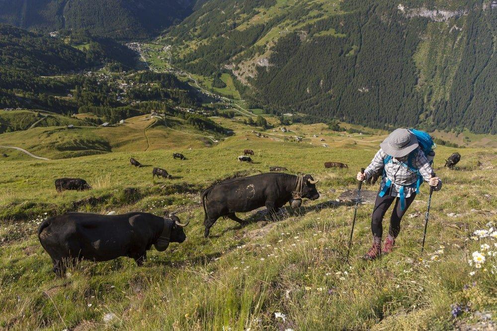 Woman hiking among cows