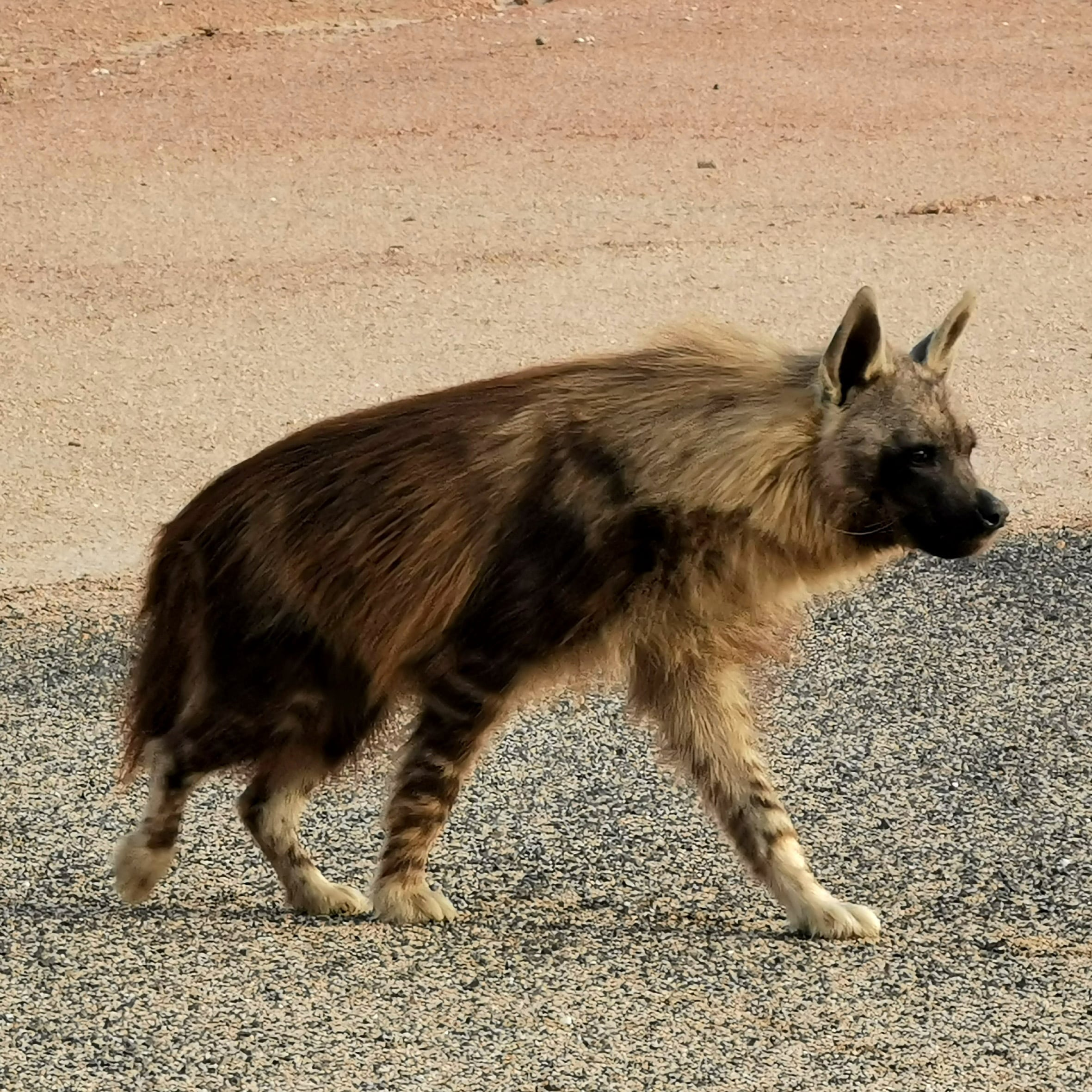 Brown hyaena two year old male