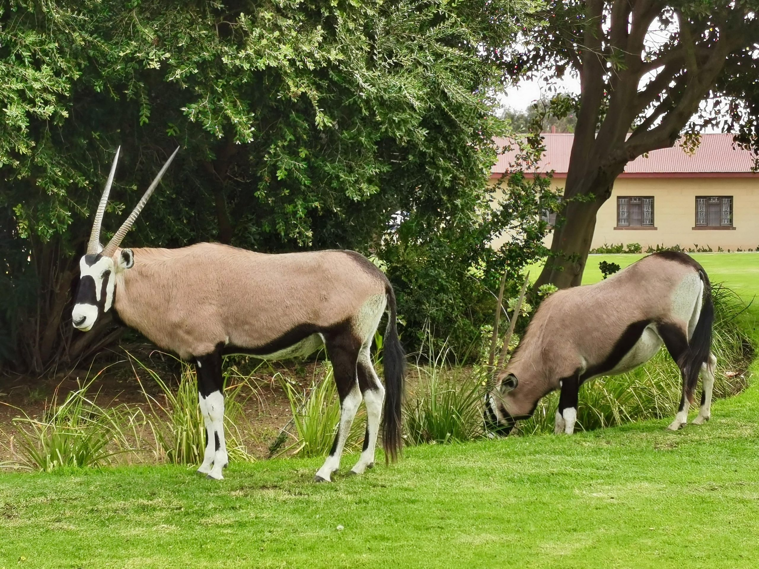 Oryx roaming Oranjemund's streets